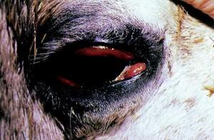 تورم سرخرگ ویروسی اسب