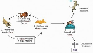 canine-parvovirus-on-the-rise-in-us-canada-L-Wev_sa