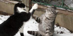 نزاع گربه سانان