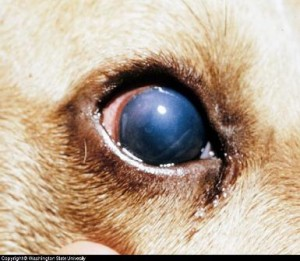 blue_eye_infectious_canine_hepatitis