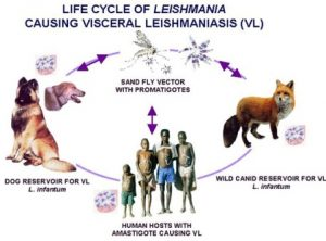 cycle of leshmania