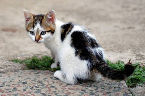 پن لکوپنی گربه سانان یا FPV