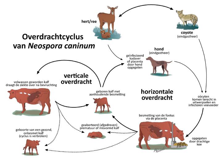 Neospora_caninum_web1