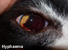 hyphema in dog
