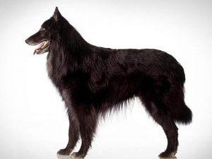 نژاد سگ بلژین شپرد Belgian Shepherd