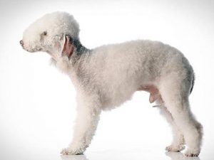 نژاد سگ بدلینگتون تریر Bedlington Terrier