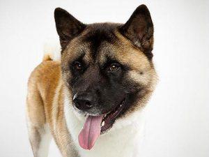 آشنایی با نژاد سگ آکیتا Akita