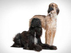 آشنایی با نژاد سگ های افغان هاند