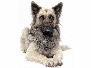 نژاد سگ گرگی Wolf-Dog Hybrid