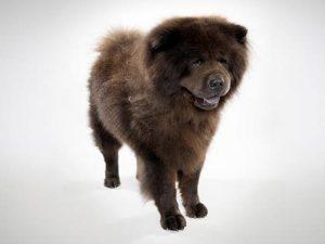 نژاد سگ چاو چاو Chow Chow