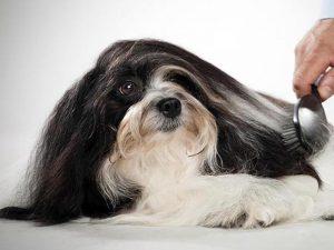 نژاد سگ هاوانیز Havanese