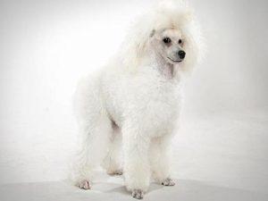 نژاد سگ پودل عروسکی poodle Toy