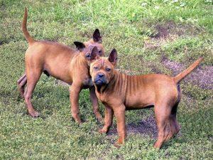 نژاد سگ چونگ کینگ Chongqing