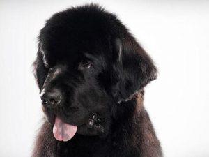 نژاد سگ نیوفاندلند Newfoundland