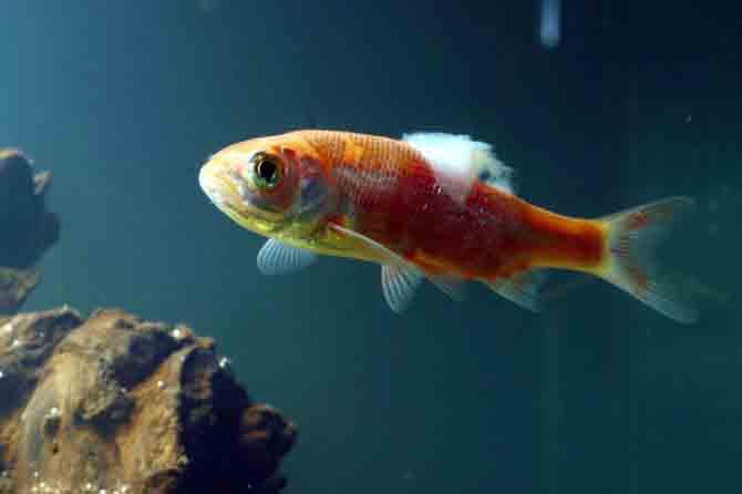 زخم و قارچ ماهی و راه های درمان آن