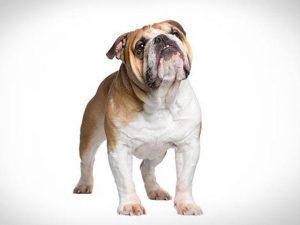 نژاد انگلیش بولداگ English Bulldog