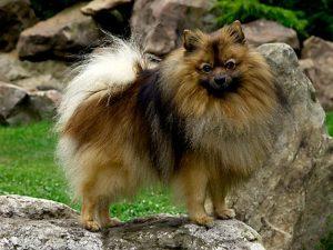 نژاد سگ اشپیتز آلمانی German Spitz