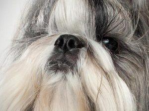 آشنایی با نژاد سگ شیتزو Shih Tzu