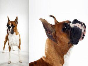 آشنایی با نژاد سگ باکسر Boxer