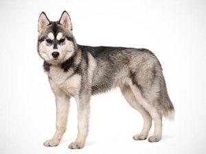 سگ سیبرین هاسکی Siberian Husky