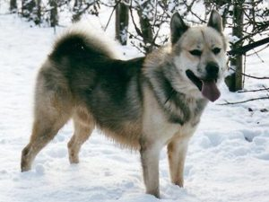 نژاد گرین لند داگ Greenland Dog