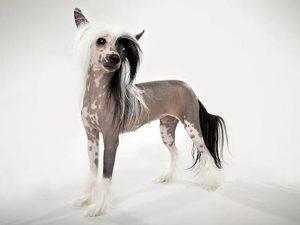 نژاد سگ چاینیز کرستد Chinese Crested