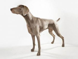 نژاد سگ وایمارینر Weimaraner