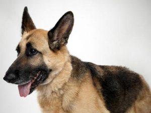 نژاد سگ جرمن شپرد German Shepherd