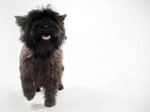 نژاد سگ کی رن تریر Cairn Terrier