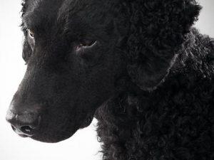 نژاد کرلی کتد رتریور Curly Coated Retriever