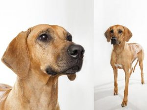 سگ ردیژن ریدج بک Rhodesian Ridgeback