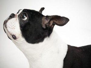 نژاد سگ باستن تریر Boston Terrier