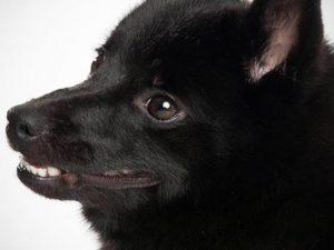 نژاد سگ اسچیپرکی Schipperke