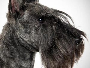 سگ اسکاتیش تریر Scottish Terrier