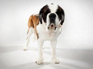 نژاد سگ سنت برنارد Saint Bernard
