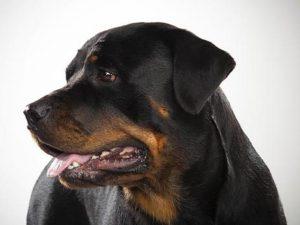 نژاد سگ رتوایلر Rottweiler