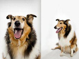 نژاد سگ راف کولی Rogh Collie
