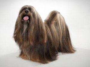 نژاد سگ لهاسا آپسو Lhasa Apso