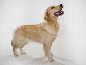 نژاد سگ گلدن رتریور Golden Retriever