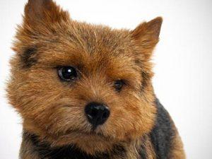 نژاد سگ نرویچ تریر Norwich Terrier