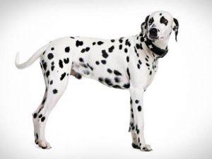 نژاد سگ دالمیشن Dalmatian