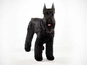سگ اشنوزر غولپیکر Schnauzer Giant