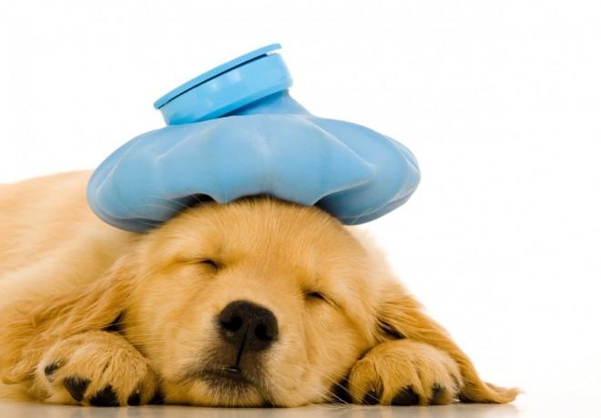 علائم و درمان تب یا هایپرترمی در سگ