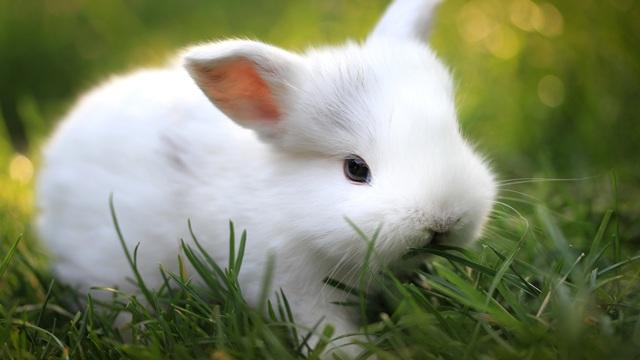 عقیم کردن خرگوش