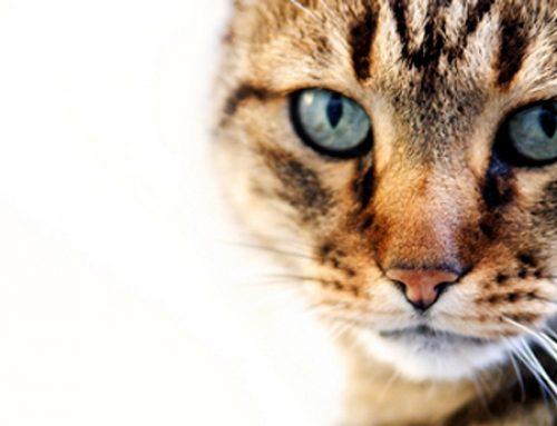 Feline Focus: Diagnostic Testing for Feline Thyroid Disease: Hyperthyroidism