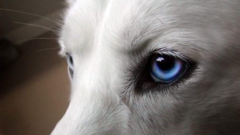 هایفاما یا خون در جلوی محفظه چشم در سگ