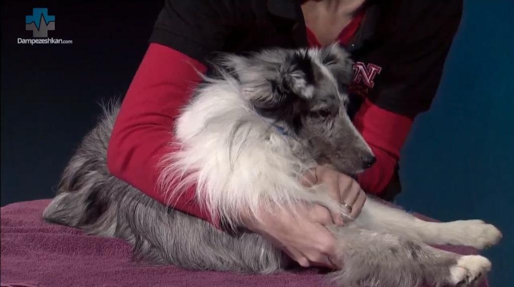 کلیپ آموزشی نحوه مقید سازی سگ برای خونگیری از ورید سفالیک