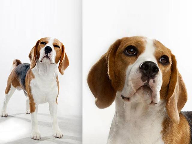 آشنایی با نژاد سگ بیگل Beagle