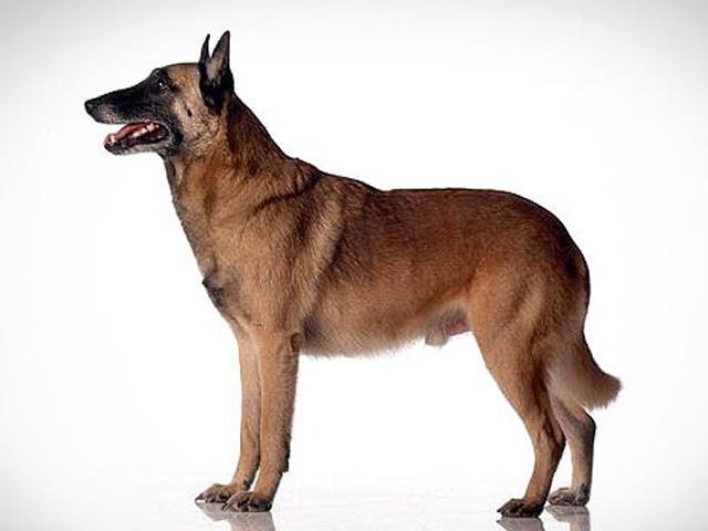 نژاد سگ بلژین مالینویز Belgian Malinois