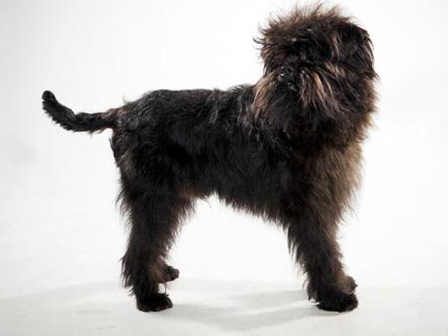 آشنایی با نژاد سگ های آفن پینچر